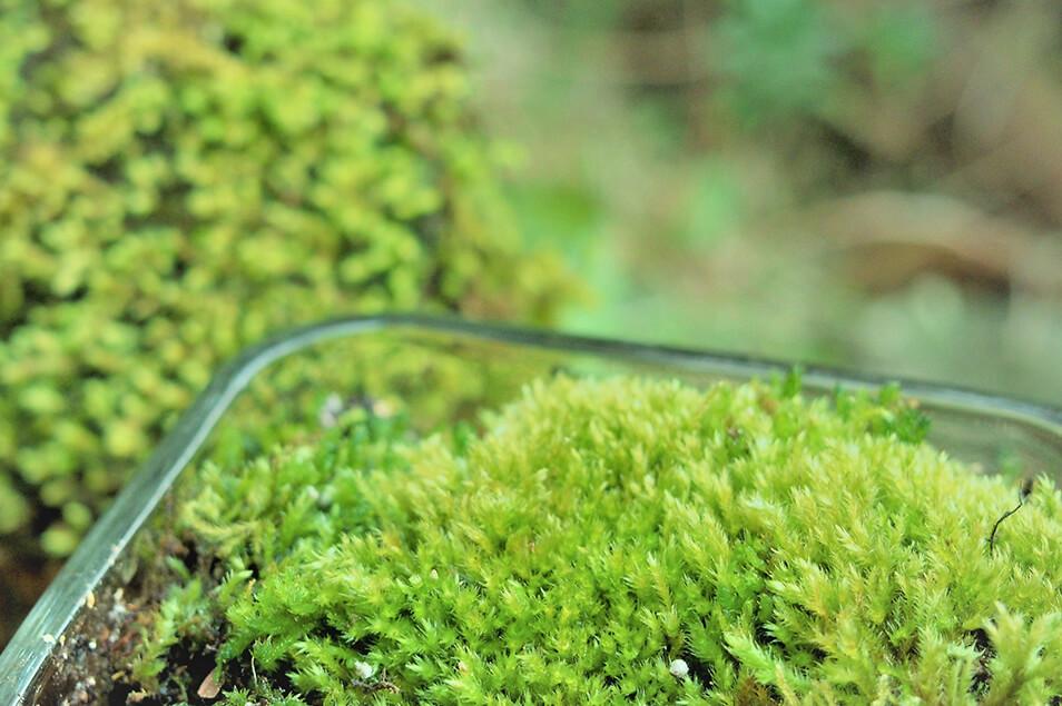苔玉を作る前に!苔の魅力や相性のいい植物をチェックしよう