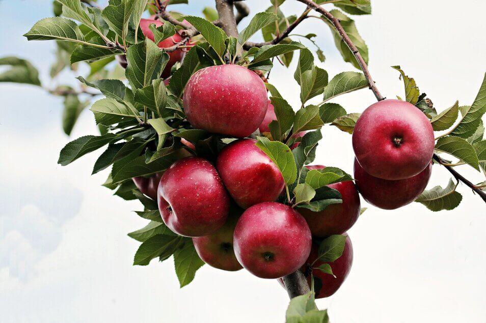 りんごは旬の時期に食べましょう♡秘めたるパワーをご紹介