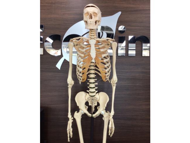 人体骨格模型を買取|名古屋|名古屋高畑店